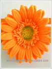 Gum paste gerbera flower
